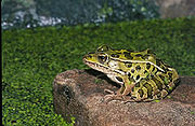 180px-Northern_leopard_frog_1